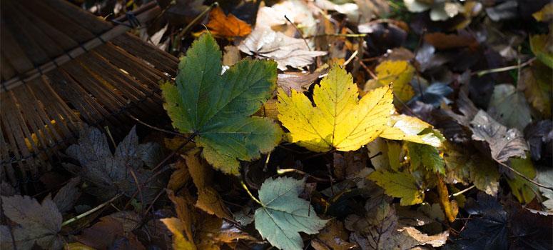 raking-leafs